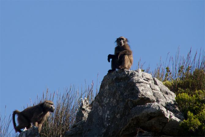 baboons Kopie